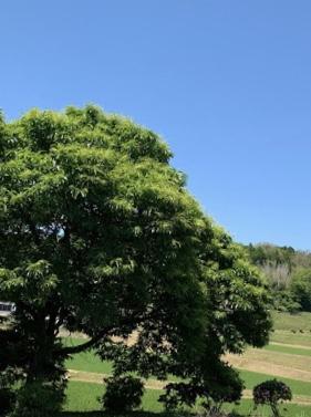 大きな栗の木